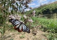 アサギマダラ旅の途中、フジバカマに飛来 小野の河川敷
