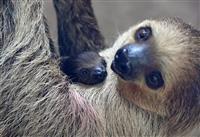 【動画あり】ママ抱っこ、離さない!ナマケモノ赤ちゃん9日から公開