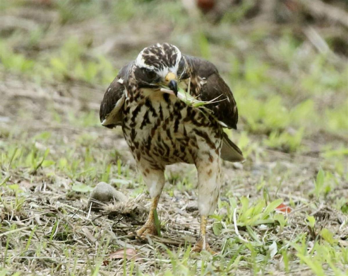 「絶滅危惧種・サシバの保護を」 奄美大島の写真家が尽力