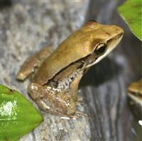 ワン!と鳴くカエル繁殖 鳥羽水族館、日本で初成功