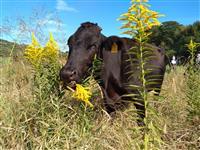 セイタカアワダチソウを食べる牛たち 耕作放棄地に「希望の放牧」