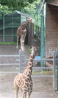 「種の保存」へ キリンの嫁入り 群馬・桐生が岡動物園