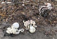 カムチャツカで生物大量死 藻類から毒素か