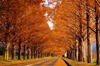 もとは防風林のメタセコイア並木が紅葉100選になるまで