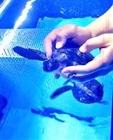 【いきもの語り】東京・すみだ水族館、小笠原村と提携し、アオウミガメの保存活動