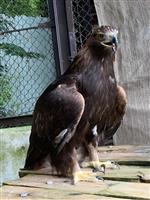 【長野・須坂市動物園 飼育員日誌】ニホンイヌワシ 繁殖準備頑張ってます!