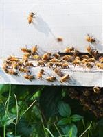 """ミツバチは巣を""""強敵""""から守るために、「動物のふん」を塗りつけていた:研究結果"""