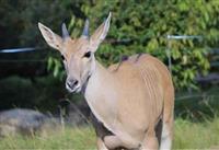 天王寺動物園のエランド赤ちゃん、名前は「ナル」