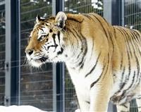 最高齢アムールトラ死ぬ 18歳雌、札幌の動物園