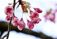 高知でサクラ、一足早い春
