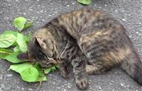 マタタビ好む理由は蚊回避 猫の特異反応解明、岩手大