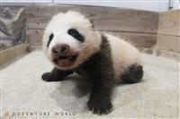 白浜AW、赤ちゃんパンダ誕生2カ月 公開は来月以降