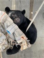 【長野・須坂市動物園 飼育員日誌】ツキノワグマの「ケン」 ハンモック、自分好みに調整?