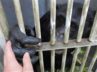 【マッキーの動物園日記】 地震に怯えるチンパンジーに大切な寄り添い