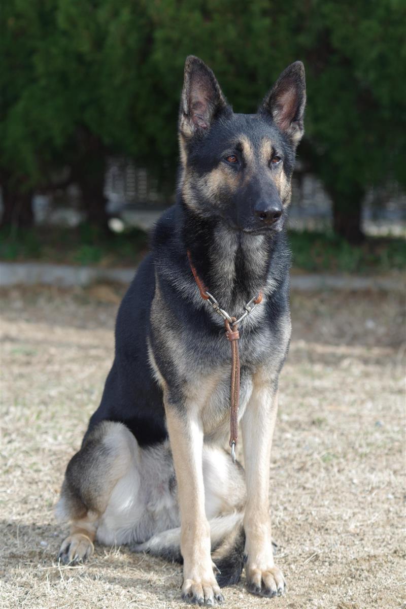 警察 犬 クレバ 失踪・保護の警察犬クレバ号、たくましくなって現場復帰へ