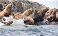 宗谷岬沖の無人島をトドが占拠 ピーク時には数千頭