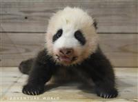 パンダ赤ちゃん公開「未定」に 緊急事態宣言延長 和歌山・白浜AW