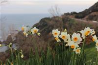 悲恋の物語と地中海沿岸由来の名残を伝える「越前水仙」