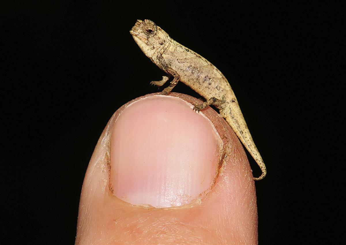 体長2センチの新種カメレオン マダガスカルで発見 - 産経ニュース