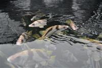 完全養殖に成功したヒゲソリダイ 新潟・柏崎の特産化めざせ