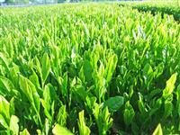 茶の新品種「さやまあかり」登録 埼玉県、40年がかりで開発
