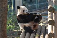 シャンシャン迫る返還期限 ファンやきもき 上野動物園