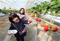 被災施設で被災者も舌鼓 福島・相馬 週末の観光イチゴ園