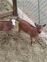 【長野・須坂市動物園 飼育員日誌】トカラヤギ 双子誕生、名前はまだ無い