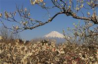 """季節外れの春うららに富士山と梅林""""競演"""" 静岡・富士市の岩本山公園"""