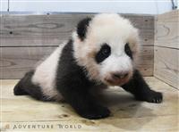 まもなく歩ける? 白浜AW、赤ちゃんパンダ誕生3カ月 名前募集に9万件超