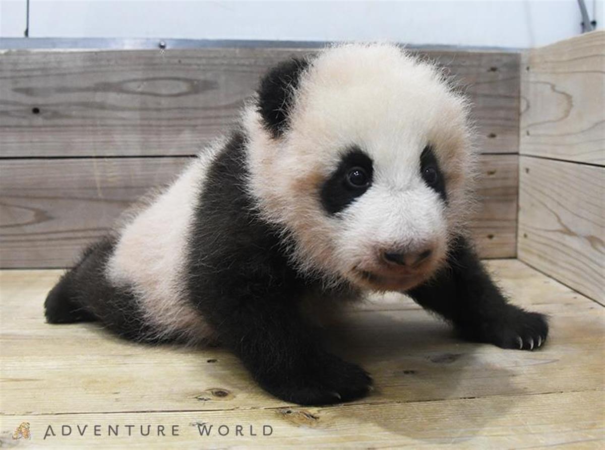 生後3カ月を迎えたパンダの赤ちゃん=22日(アドベンチャーワールド提供)