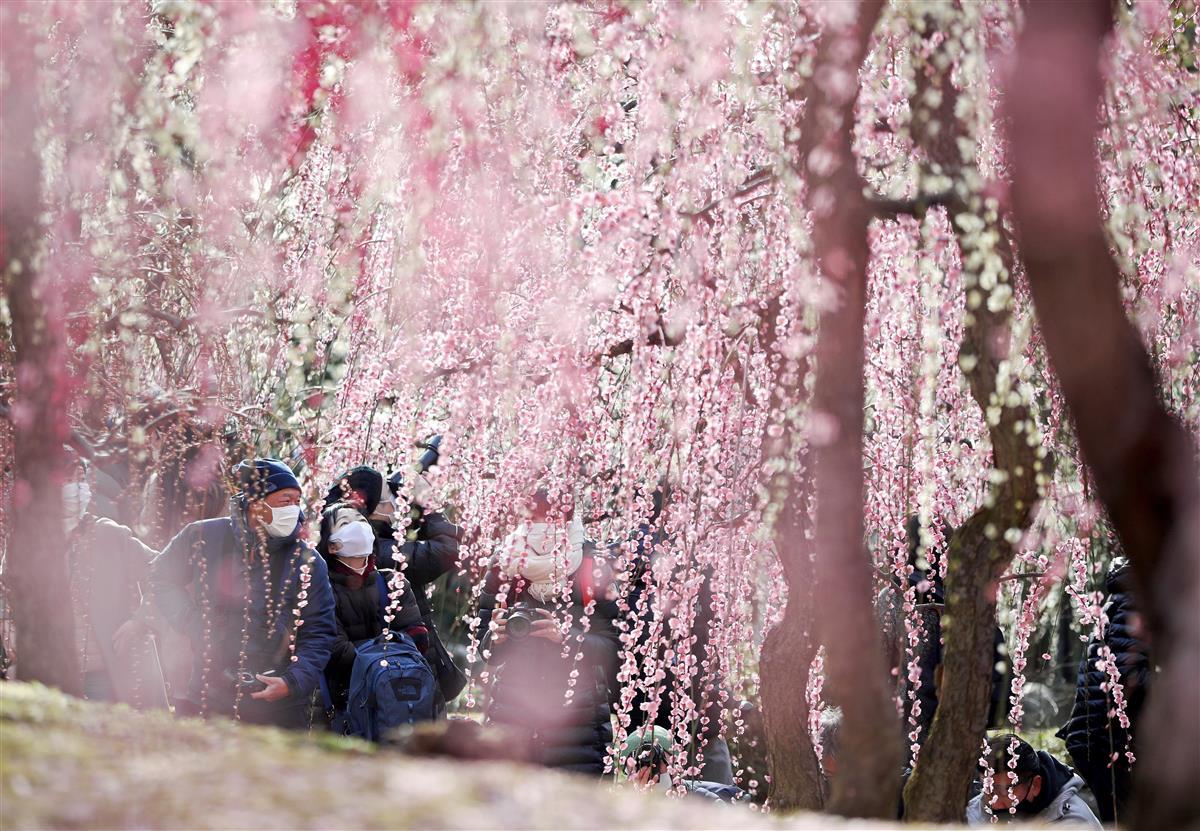 見ごろを迎えたしだれ梅が古都に春の訪れを告げている=27日午前、京都市伏見区の城南宮(渡辺恭晃撮影)