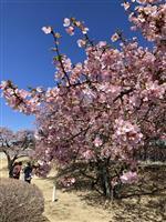 河津桜が開花、前橋に春告げる 群馬