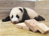 赤ちゃんパンダ、12日から公開 白浜AW