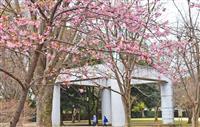 早咲きの桜が見頃に さいたま