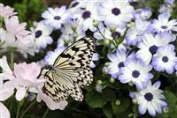 【動画あり】国内最大級のチョウ「オオゴマダラ」優雅に舞う 兵庫・伊丹