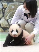 【動画あり】和歌山で赤ちゃんパンダ公開始まる