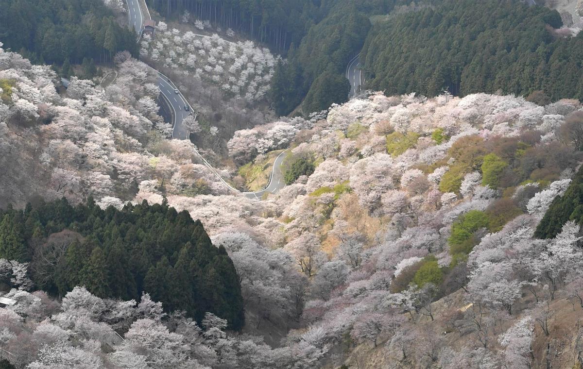 4版1面 吉野山の桜見頃