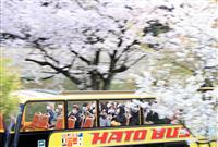 【動画】東京で桜が満開 「はとバス」ツアー再開も再拡大懸念