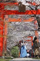 【動画】春色の〝桜トンネル〟満開の京都・竹中稲荷神社で