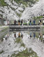 夙川公園でサクラ見頃 兵庫・西宮