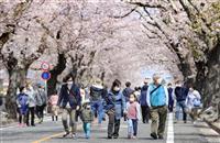 福島・夜の森、今年も満開 帰還困難区域そばの桜並木