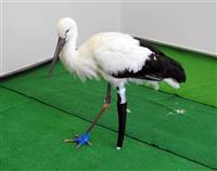 左脚なくしたコウノトリに国内初の「義足」…リハビリのプロ提供 兵庫・豊岡