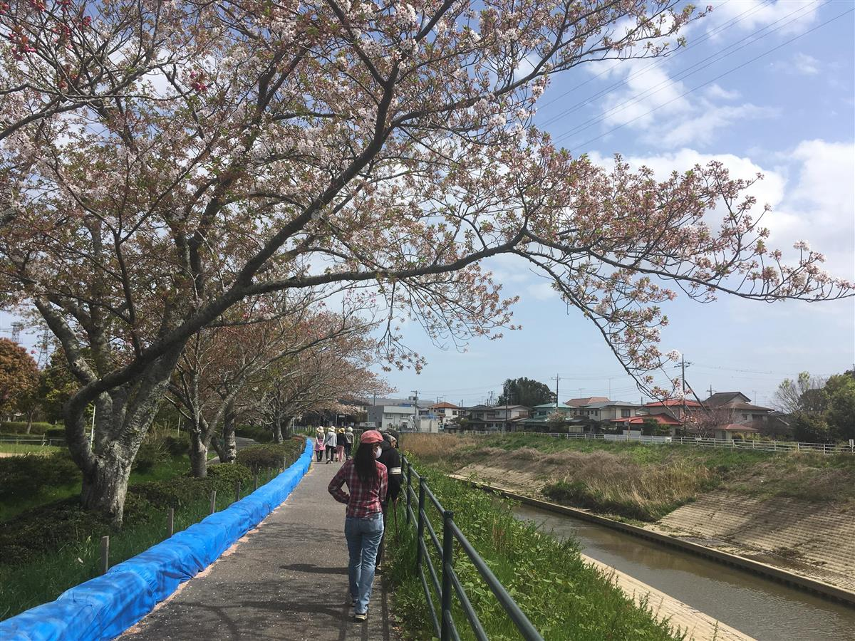 茂原市の桜並木