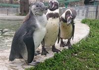 生後3カ月、求む名付け親 フンボルトペンギン 群馬サファリパーク