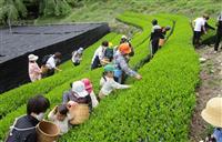 「茶祖」聖一国師生家近くで小中学生が茶摘み 静岡・葵区