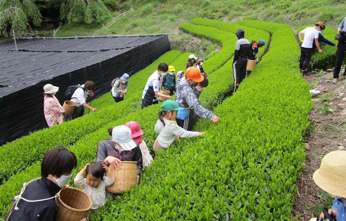 茶摘みP7