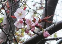 桜前線が列島縦断 最北端・稚内で開花