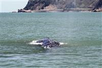 【深層リポート】クジラと高速船の衝突低減 新潟大名誉教授が残した功績