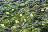 水面に可憐なバイカモ 兵庫・多可の農業用水路
